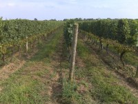 Mattebella-Vineyards