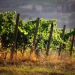 Montalcino-Vines